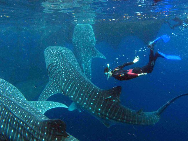 Whale Shark season has begun!